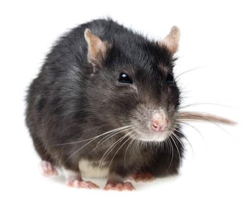 Extermination de rats