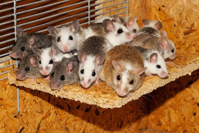 Infestation de souris