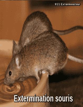 Extermination souris