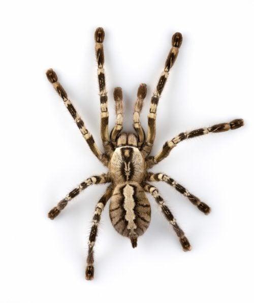 Extermination araignée