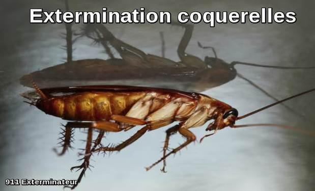 Extermination des Coquerelles (aussi appelées blattes et cafards)