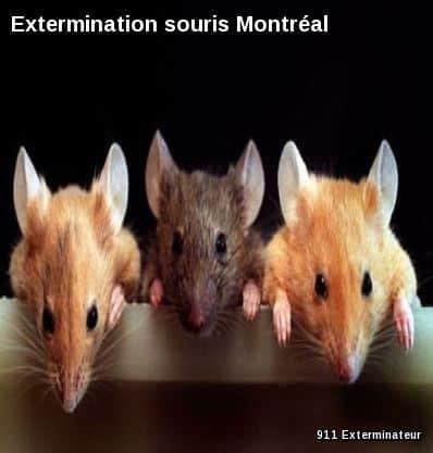 Extermination de souris à Montréal
