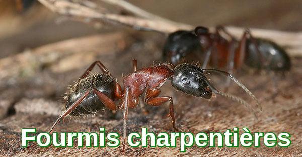 Fourmis charpentières