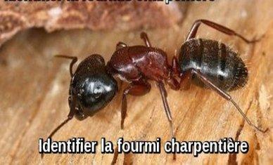 Identifier les fourmis charpentières