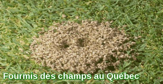 Fourmis des champs au Québec