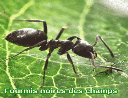 fourmis noires des champs 911 exterminateur. Black Bedroom Furniture Sets. Home Design Ideas